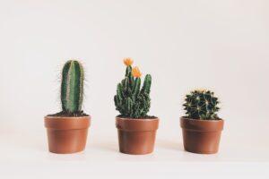 roślina, kaktus